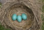 Robin Eggs by Thereallovell
