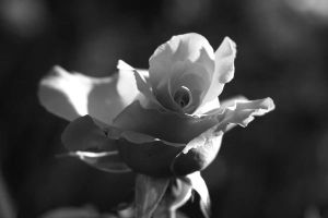 b w rose by stockofshutterbugmom