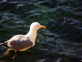 seagull on water by ionelat