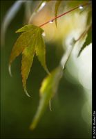Japanese Maple For MaggyMay by butterfly36rs