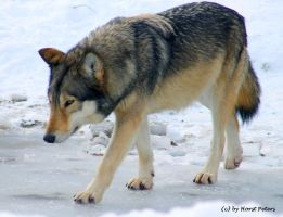 Timber Wolf / Timberwolf  5 by bluesgrass