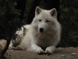 North American Arctic Wolf 22 by animalphotos