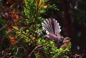 Fantails by no-soap-was-harmed