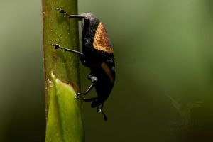 Weevil by CBasco