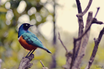 Superb Starling II by InciGraph