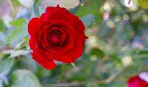 Rose Rouge by todto