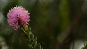 Pink Bottlebrush by Coraloralyn