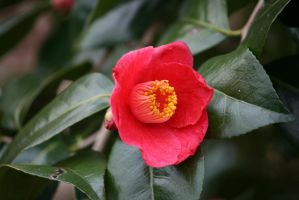 view to pink camellia outside by ingeline-art