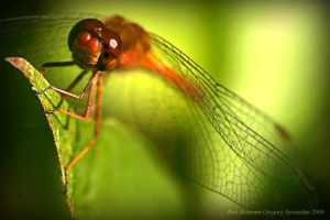 Red Skimmer by UffdaGreg