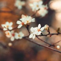Les fleurs de Printemps . III by Somebody--else