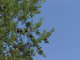 Arboretum: Pinecones and Sky by golddew