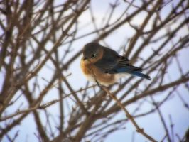 Winter Bluebird 3 by S-H-Photography