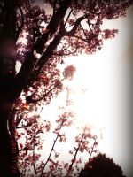 Cherry Blossom 5 by this-is-the-life2905