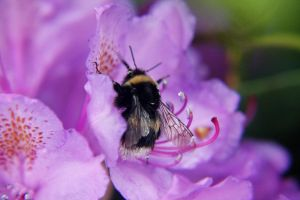 Bumble Bee by elinacarlsson