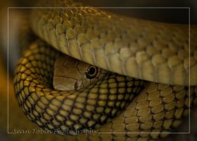 King Cobra 3 by ST77