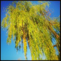 Weeping Willow by peppy-heppy