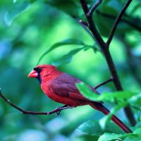 Cardinal Red by clippercarrillo