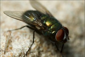 Housefly by shnivae