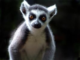 Ring-tailed Lemur by April-Snowflake