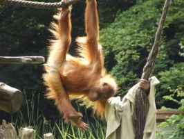 stock orang utan 04 by joshi-stock