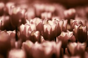 Tulips by an1s1a