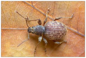 Weevil 2 by EdwinBont