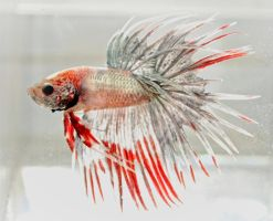 Silver crowntail by copperarabian