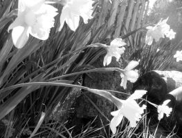 Black and White Daffodils by lonelycard