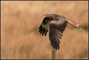 Red Kite VI by nitsch