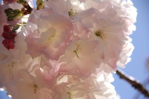 cherry blossoms 2 by Carolinel3