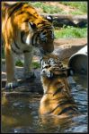 Zoo, Tigers by dpbBryan