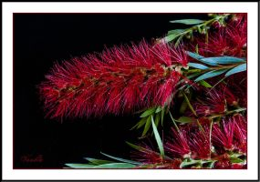 Bottlebrush in Bloom by vanndra
