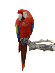 Parrot Stock PNG by Iciness