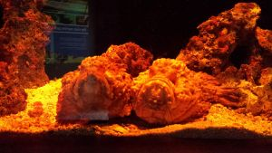 A pair of Stonefish by Roses-and-Feathers