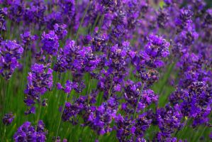 lavender by cheah77