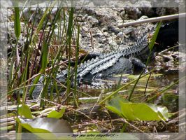 - See you later alligator - by penelopew