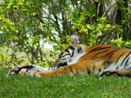 Tiger Naptime 2 by MissMachineArt
