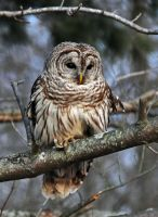 A Barred Owl by masscreation