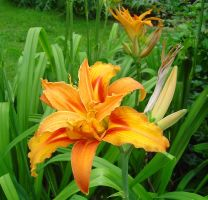 Daylily by archidictus