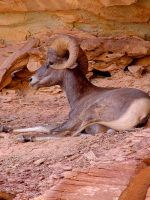 Bighorn Sheep at Capitol Reef by Geotripper
