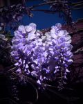 Heart of Wisteria by creativemikey