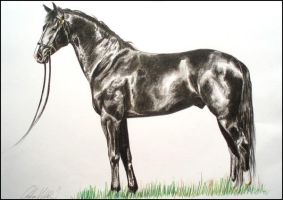 Drawing- Welsh horse by Ennete
