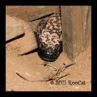 Gila Monster Guest In Barn by RooCat