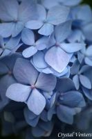 Blue Hydrangea 2 by poetcrystaldawn