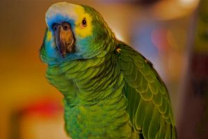 Marty the Blue Front Amazon Parrot by Lion6255