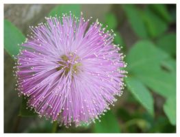 Pink Poof by Cillana