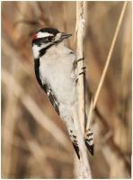Downy Woodpecker by Ryser915