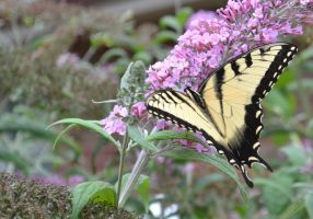 Butterfly Bush 3 by Singing-Wolf-12