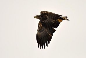 White-tailed Eagle VI by nordfold