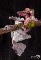 Leaf tailed gecko shedding by AngiWallace